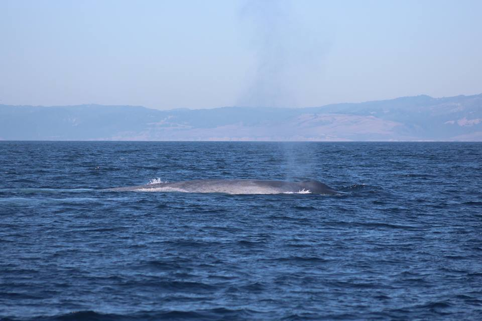 Blue Whales in Monterey! – 6/10/17