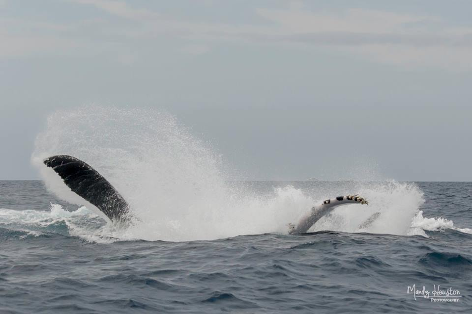 Humpback Battle – 2/17
