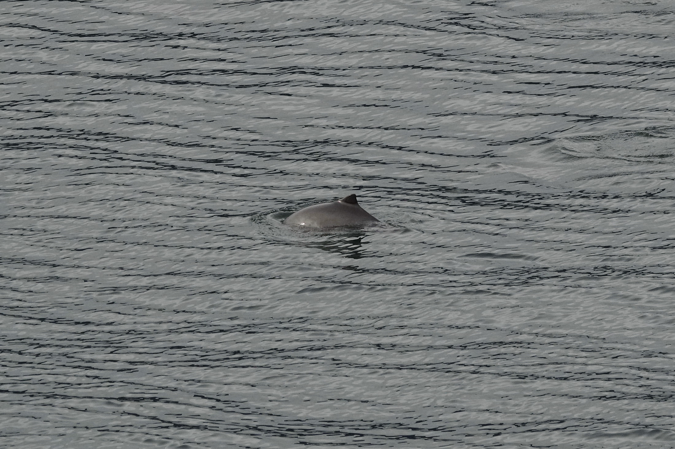 First Proper Harbour Porpoise Sightings in 2018! – 2/18