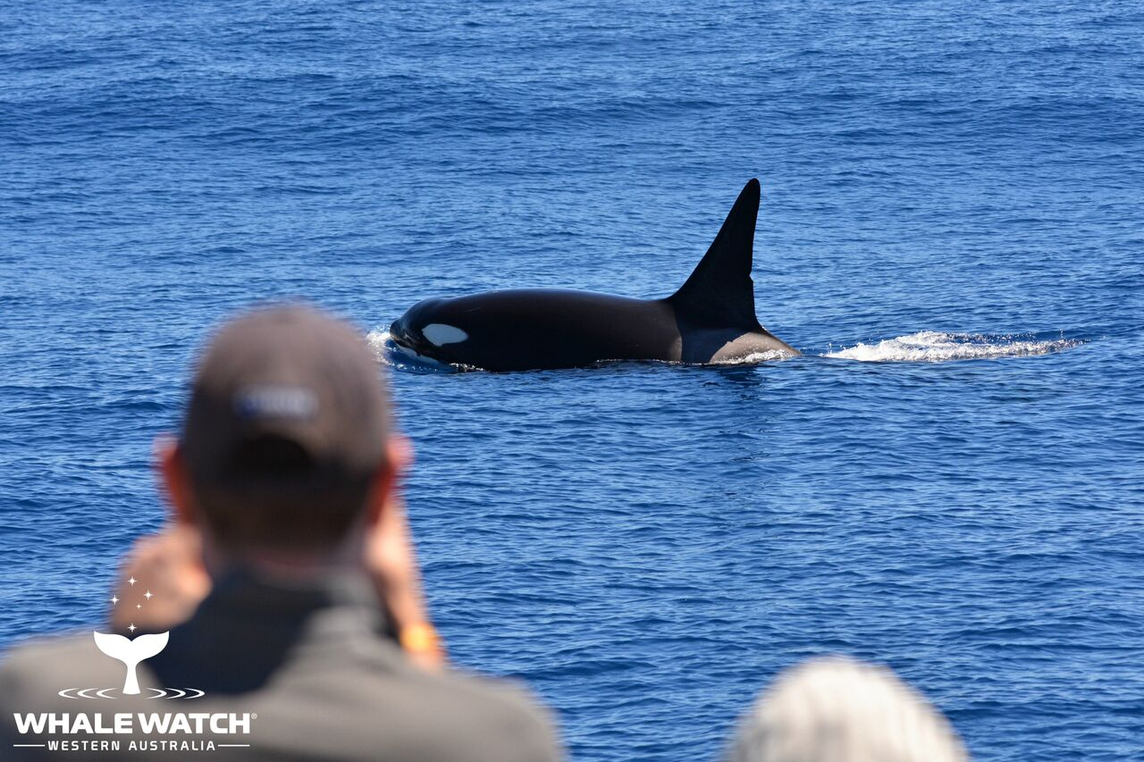 Australia Day Orca in Bremer Bay – 26/01/08