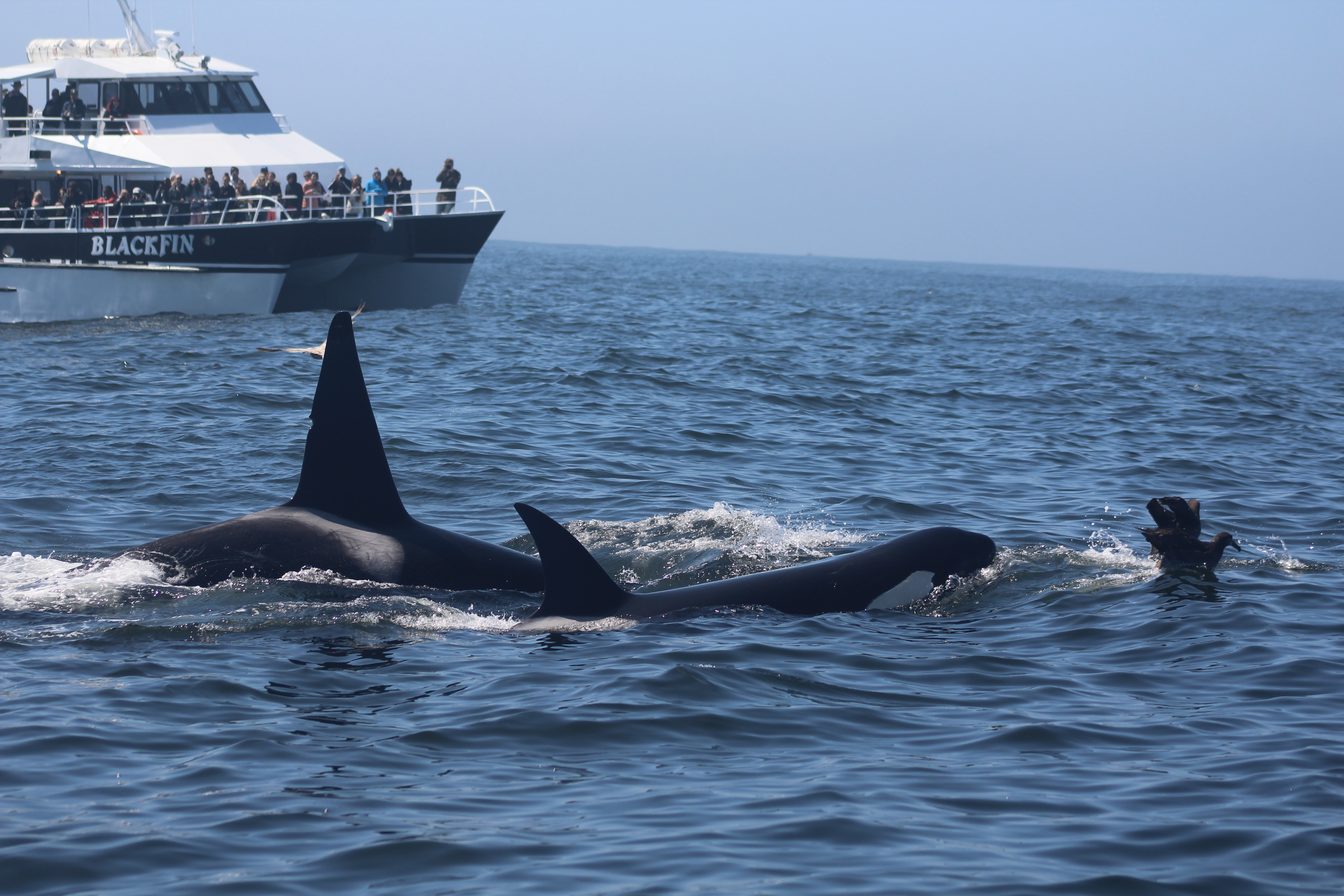 Incredible Encounter with California Killer Whales! – 21/4/18
