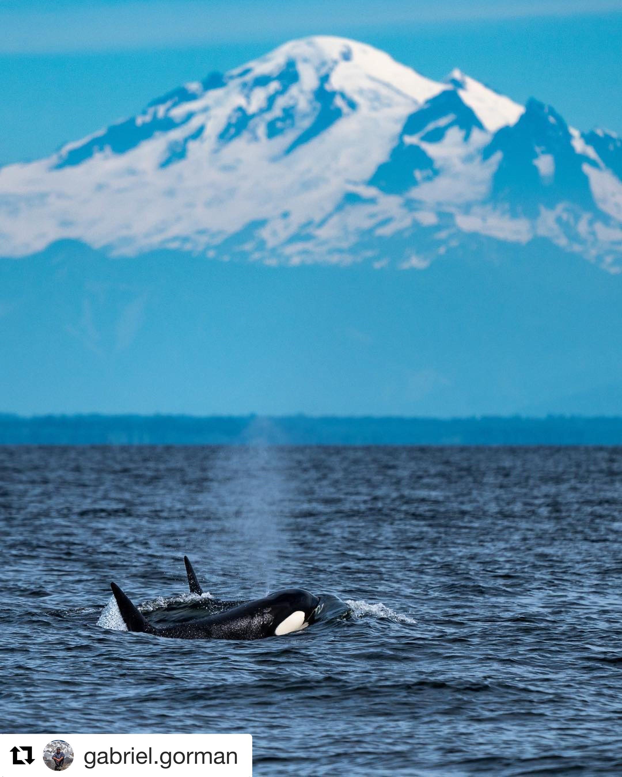 Transient's (Bigg's) Hunting Seals – 8/7/18