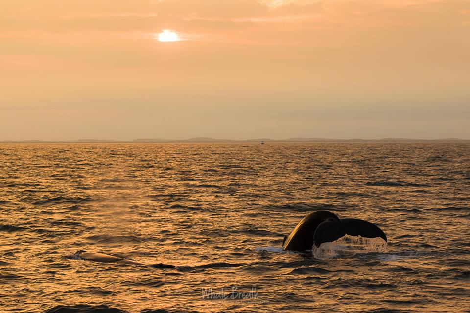 Sunset with Humpbacks – 14/7/18