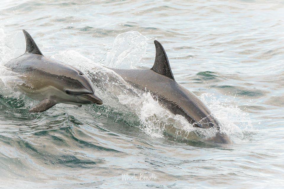 Feeding Common Dolphins – 30/9/18