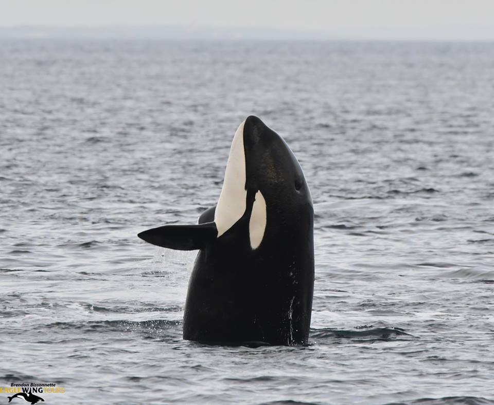 Bigg's (Transient) Killer Whales: Bird Hunters! – 24/10/18