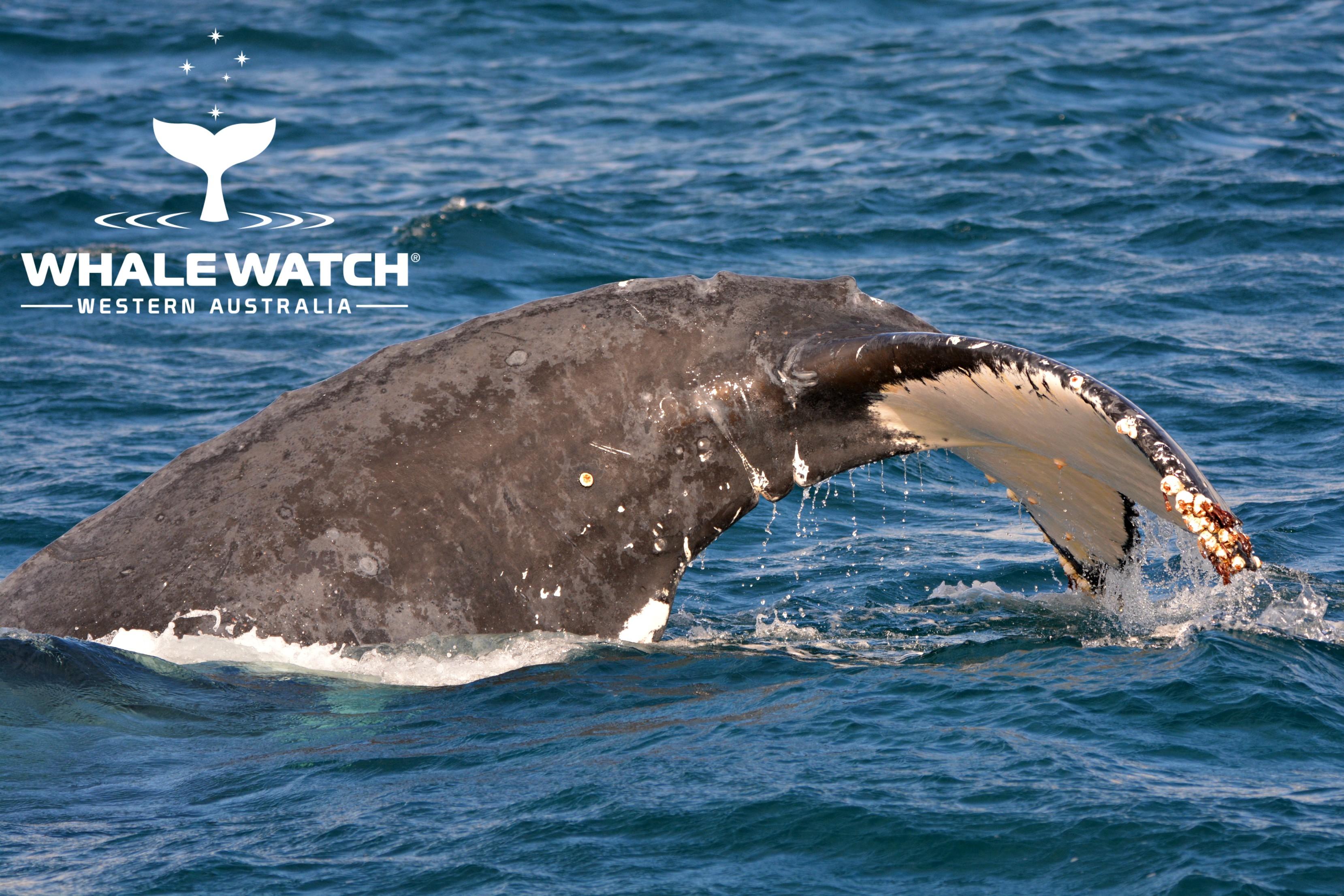 Tales of Whales in Flinders Bay, Augusta – 8/6/18