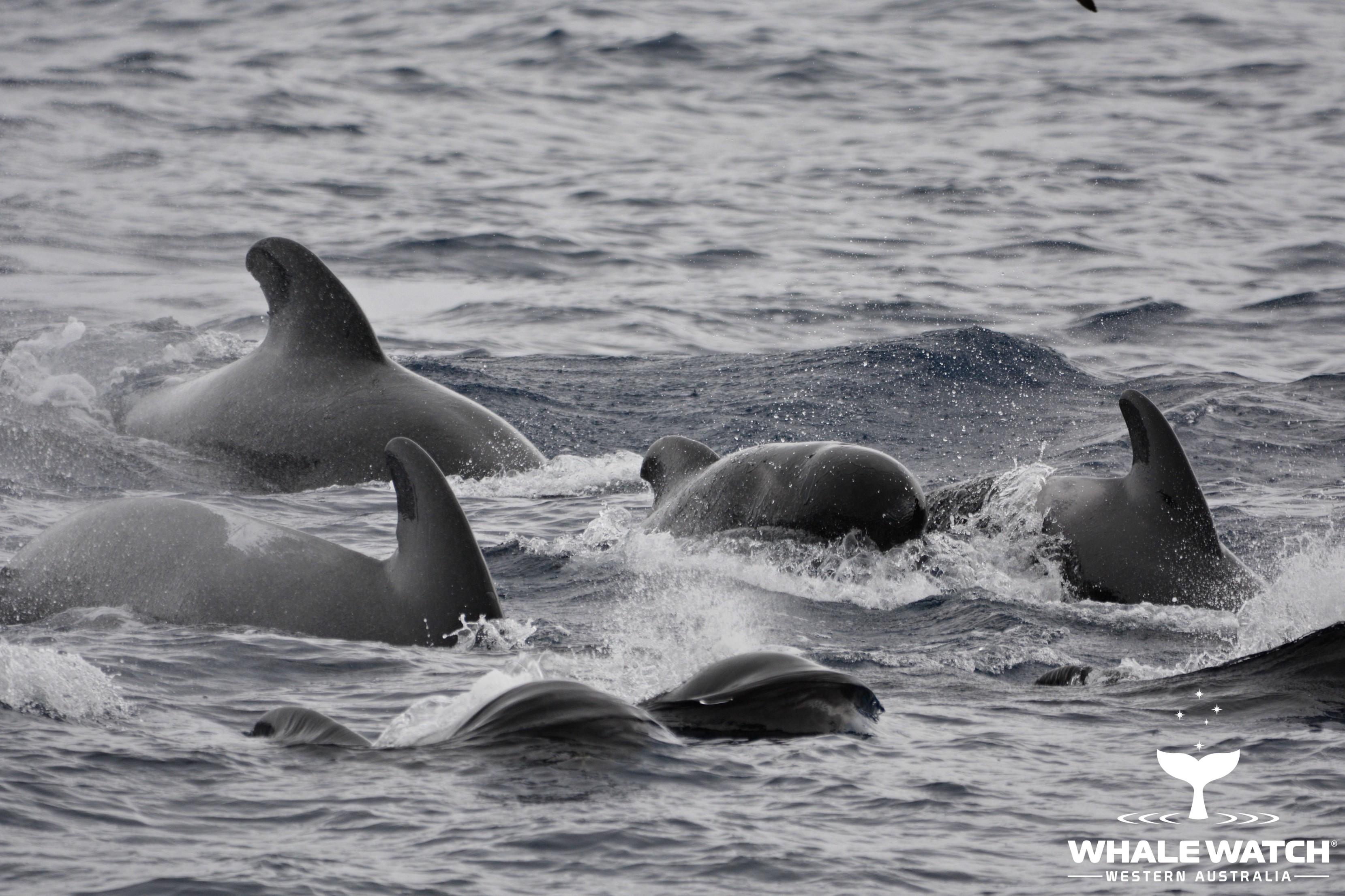 Bremer Bay Pilot Whales – 19/3/18