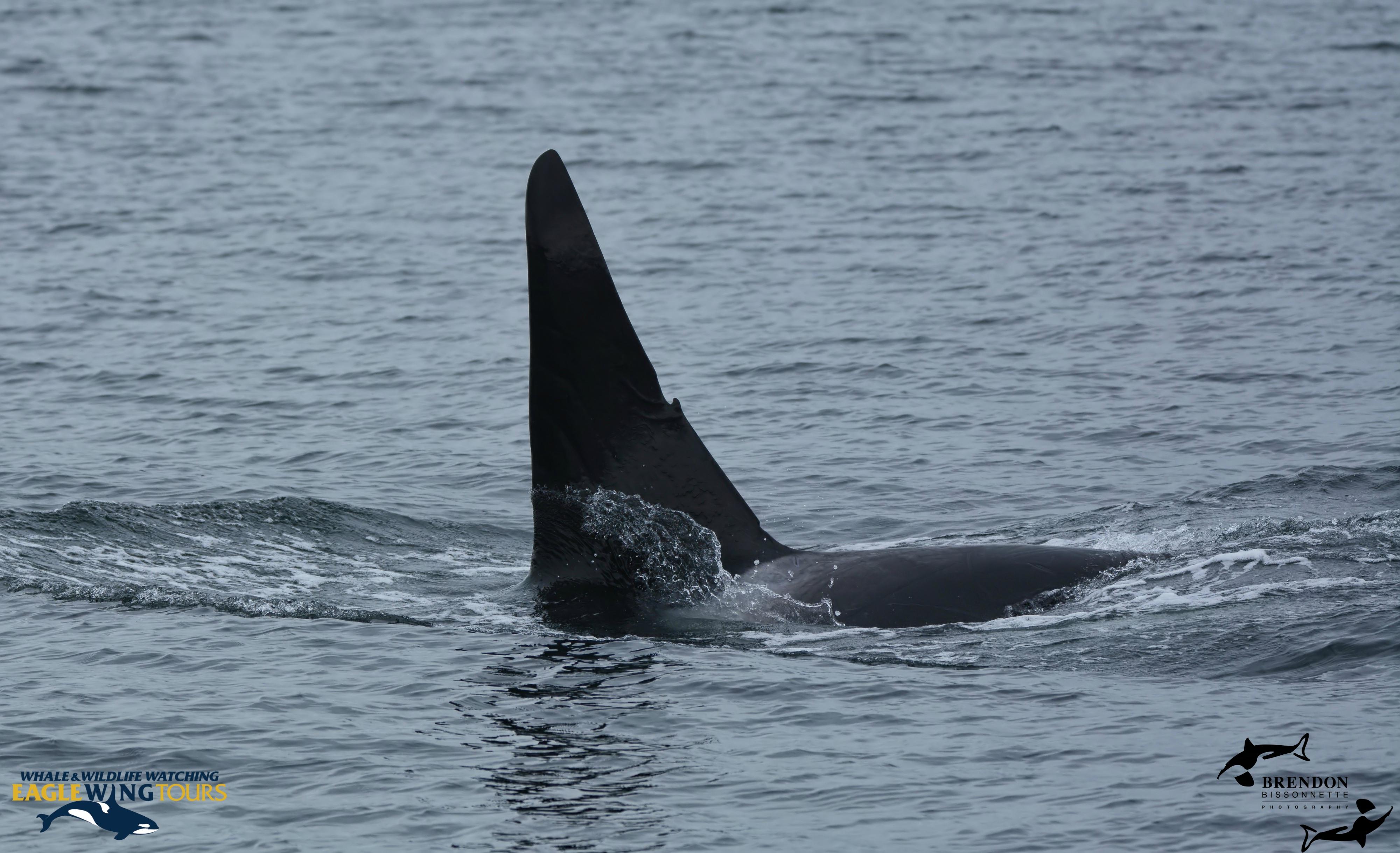 Over 20 Bigg's (Transient) Killer Whales in Juan de Fuca Strait! – 19/6/17