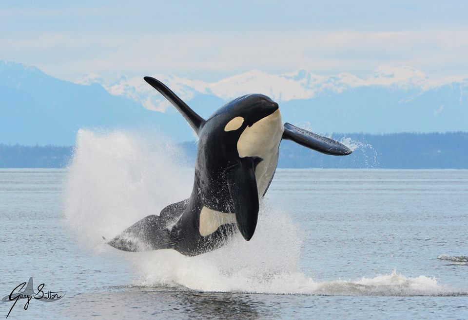 The Naming of Things: Killer Whale vs Orca