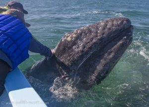 Amazing Whale Watching In Baja California Sur Whale Tales