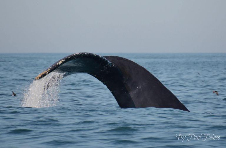 Incredible Whale and Dolphin Action 30 Miles South of Moriches Inlet – 27/7/19