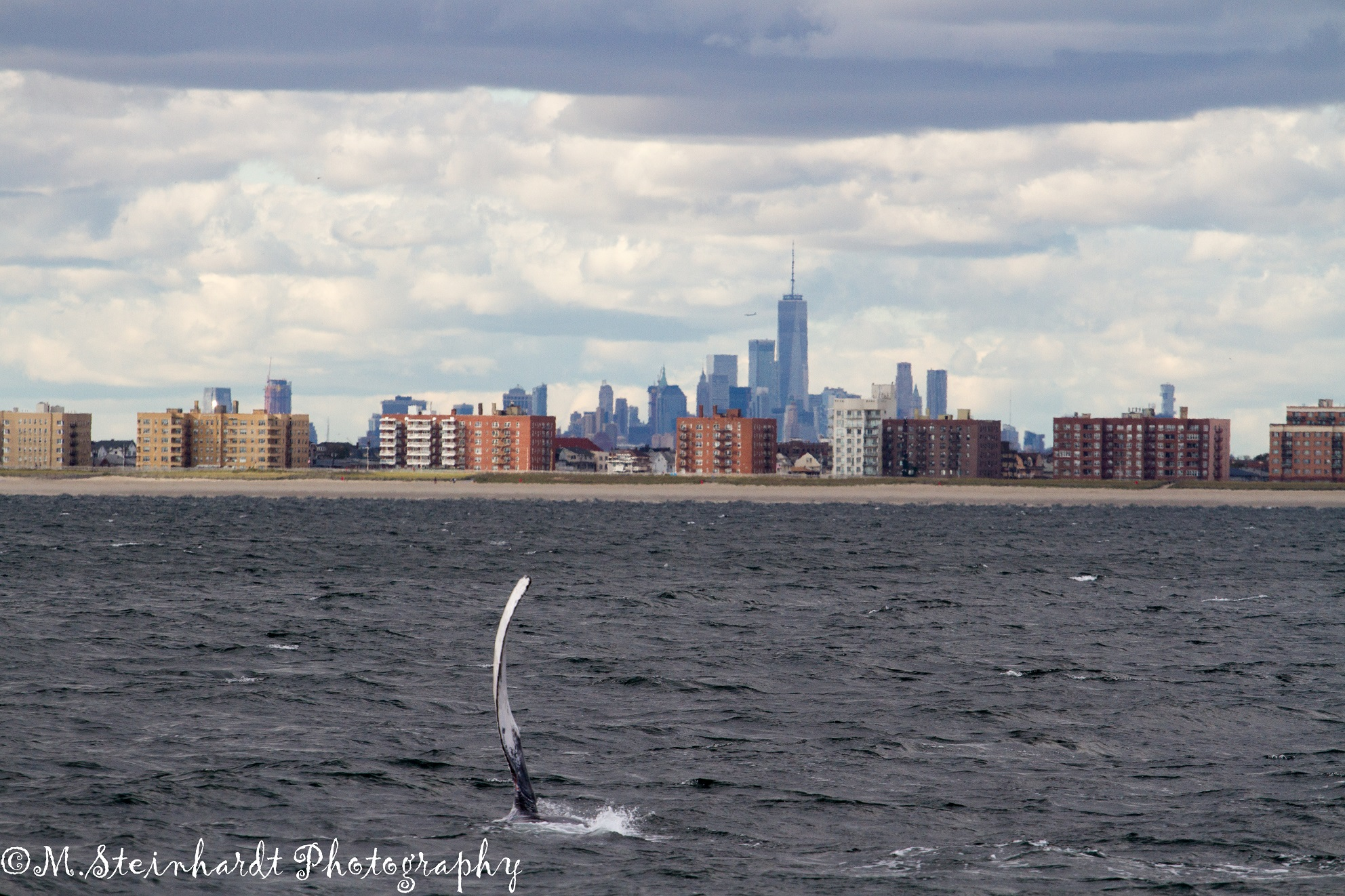 A Pec Slapping Humpback in New York – 9/18