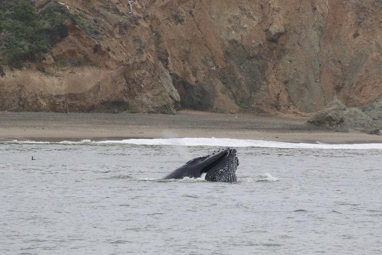 Humpbacks Feeding in San Francisco – 30/8/19