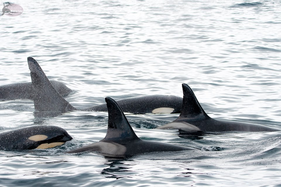 A Curious Encounter with Killer Whales – 11/5/19