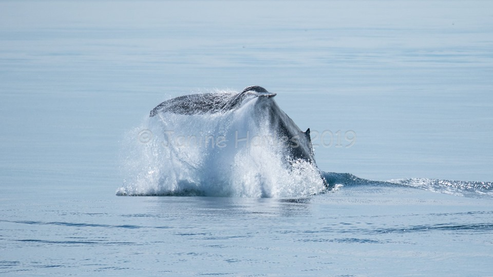 Amazing Day with the T46s, T46Bs and Humpbacks! – 13/8/19