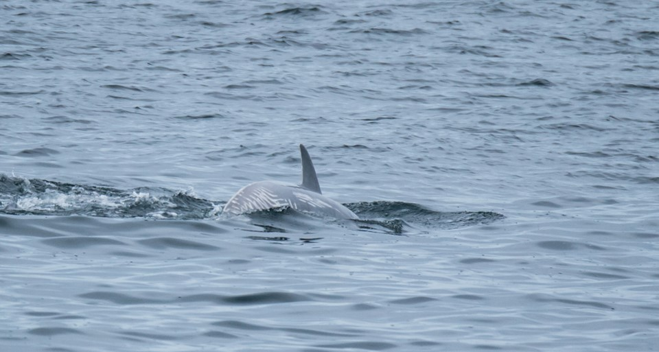 Biggs Killer Whales Playing with Salmon! – 20/8/19