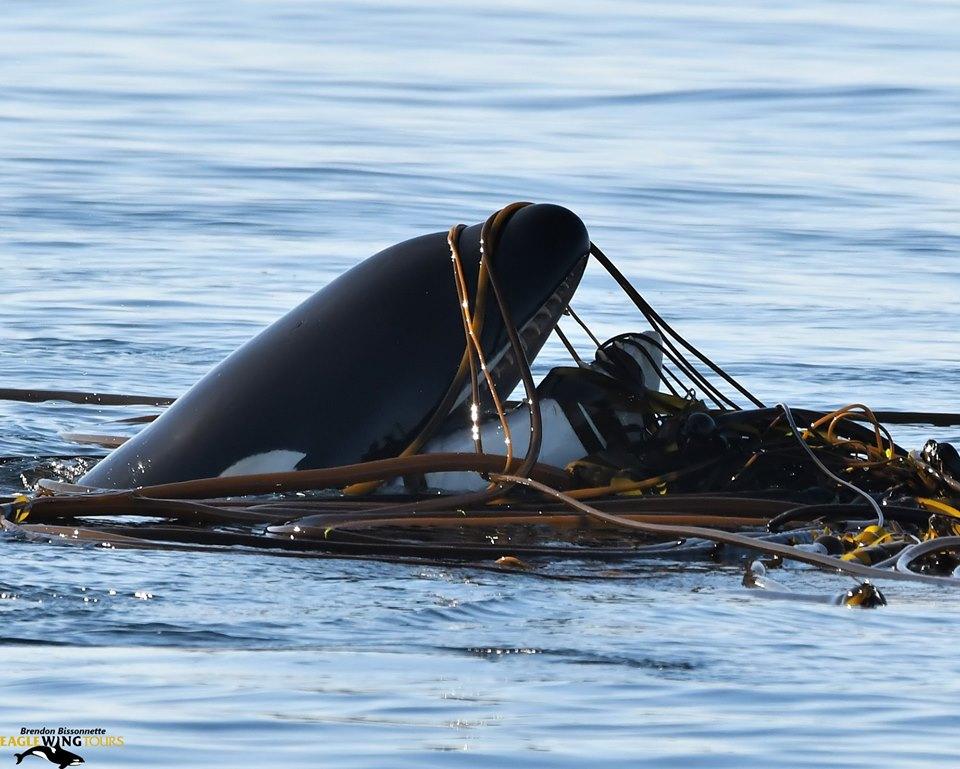 """T046B2 """"Akela"""" Playing in the Kelp! – 28/8/19"""
