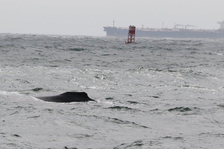 A Rainy Day with Humpbacks – 18/8/19