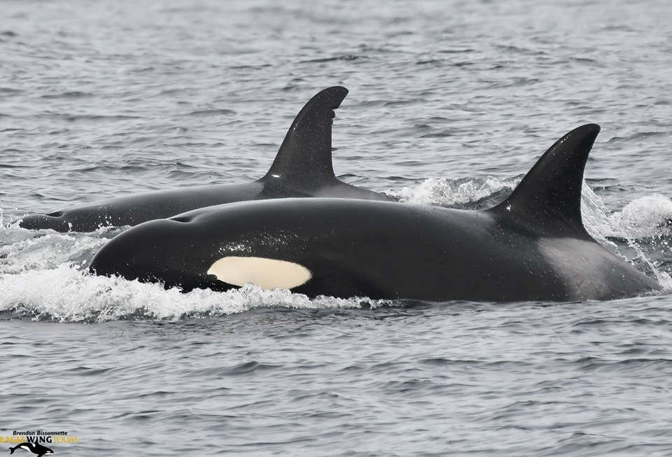A Great Meetup with Uncommon Biggs Killer Whales – 11/9/19