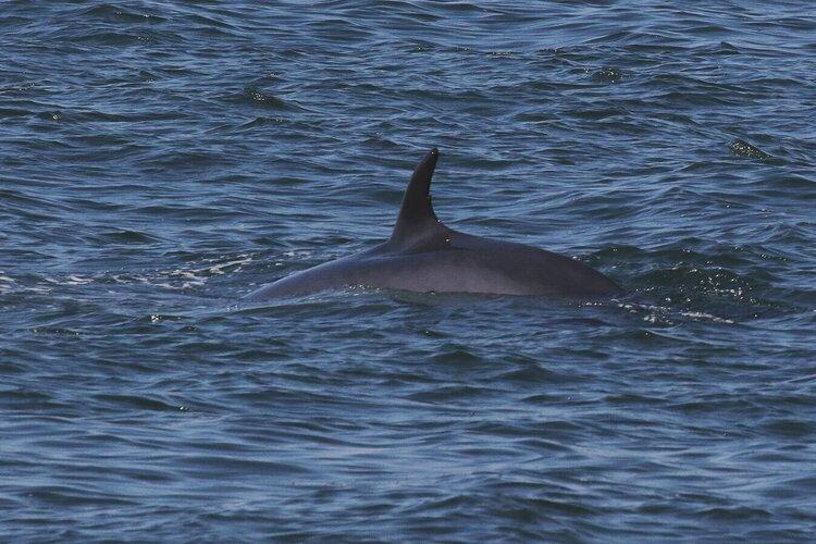Minke Whale and Humpbacks in San Francisco – 13/9/19