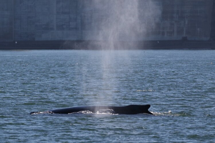 Humpbacks Near Golden Gate Strait – 6/10/19