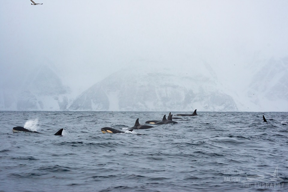 Orcas and Snow Storms on the First Day of the Season! – 1/11/19