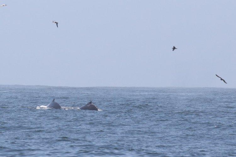 Active Humpbacks in San Francisco – 16/8/19