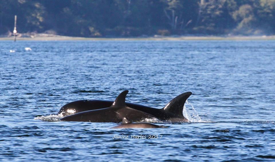 T087 Kills a Harbour Porpoise! – 8/10/17