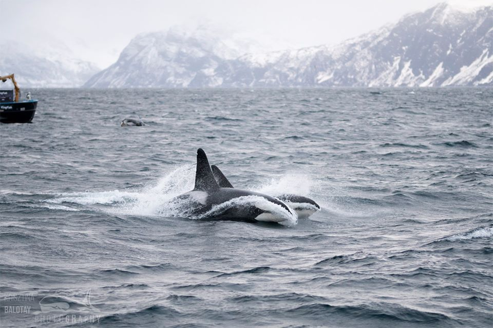 Orcas Riding the Waves – 25/11/19