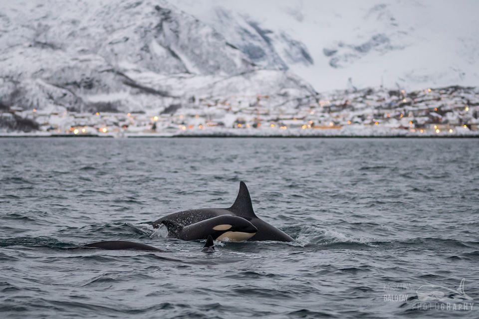 Orcas in the Dark – 3/12/19