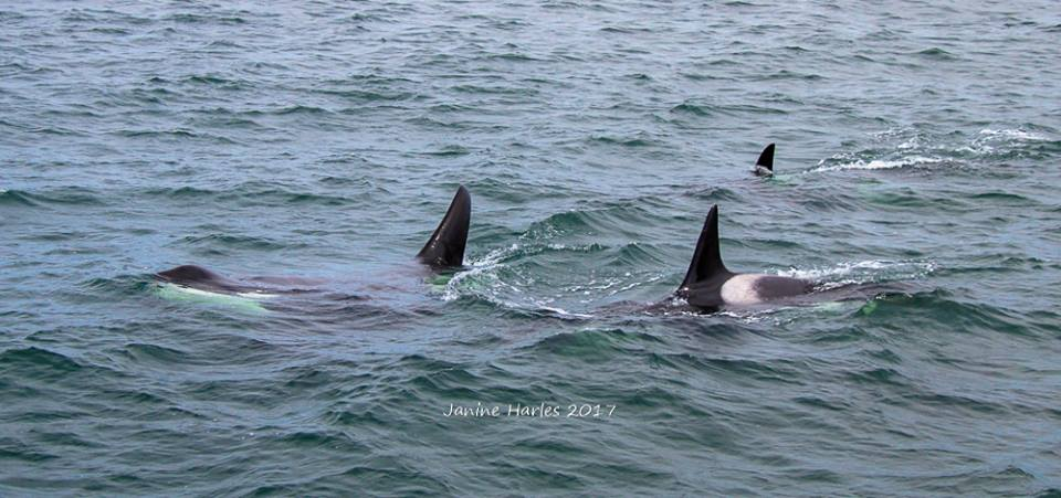 Absolutely Incredible Experience with Biggs Killer Whales – 12/6/17