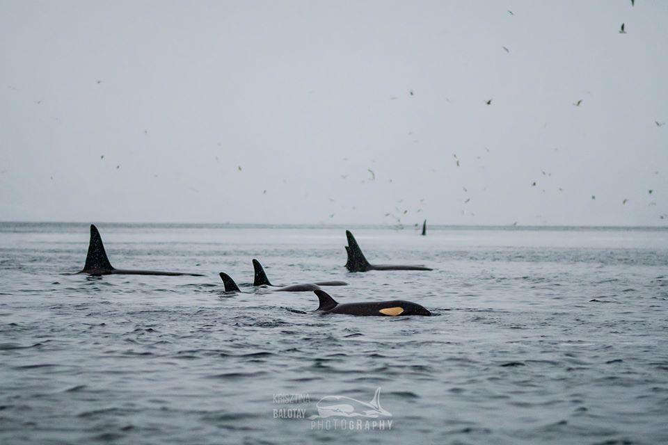 """An Orca """"Food Coma"""" – 5/1/20"""