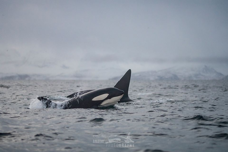 Fintastic Day with an Orca Calf – 6/1/20