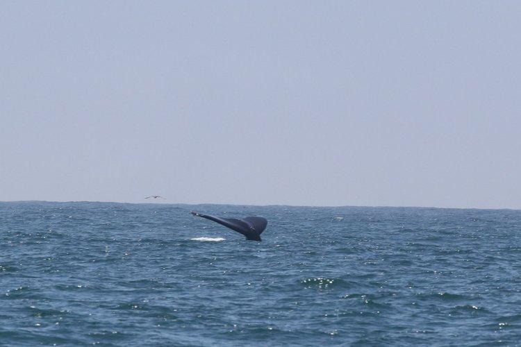 Five Humpbacks Feeding – 17/7/19