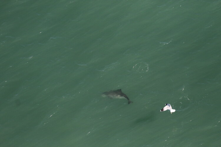 Porpoise Watching from the Golden Gate Bridge – 21/2/20