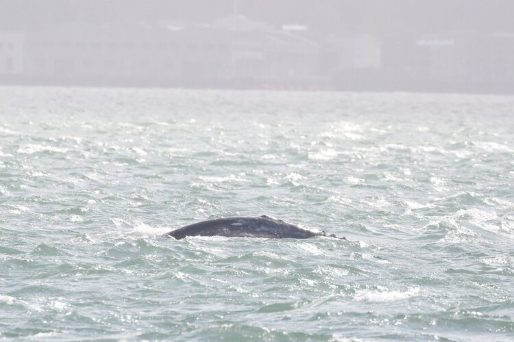 A Gray Whale on the First Day of the Season – 22/2/20