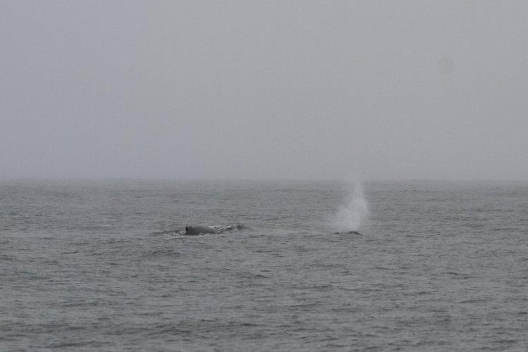 Lunge Feeding and Fluking Humpbacks – 19/6/19