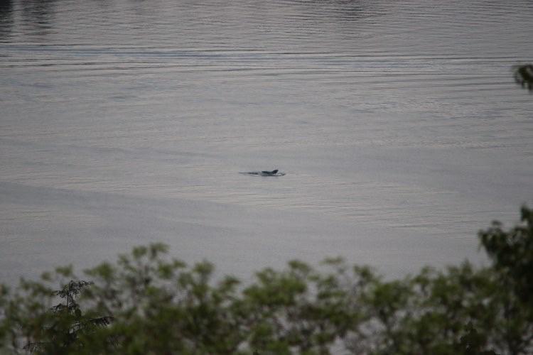 A Humpback in Burrard Inlet! – 14/5/20